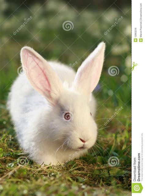 snow white rabbit stock photo image of mini rabbit