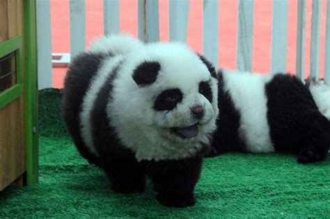 panda puppy panda dogs pet shops sell out as go for the cuddly black and white