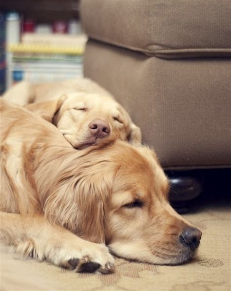 can golden retrievers live outside 25 reasons golden retrievers are actually the worst dogs to live with