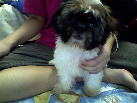 miniature shih tzu puppies for adoption mini shih tzu puppy rm400 for sale adoption from selangor cheras adpost