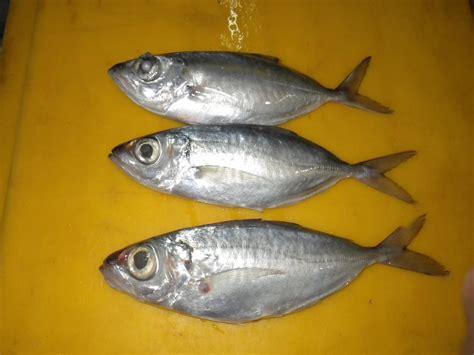Jual Bibit Ikan Arwana Murah Jakarta jual ikan kembung bentrong harga murah jakarta oleh cv erinda