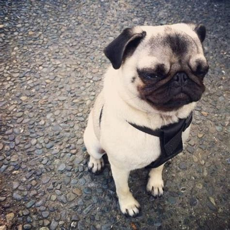 top 10 pug names 17 best ideas about pug names on pugs images of pugs and black pug puppies