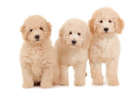 goldendoodle puppy weight gain 7 of the most popular and cutest mixed breed dogs