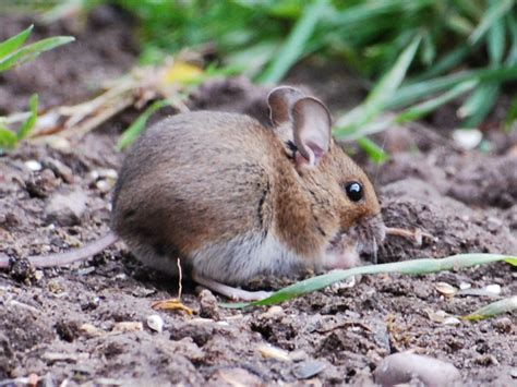 garden rodents types rambles with a wood mice in my garden