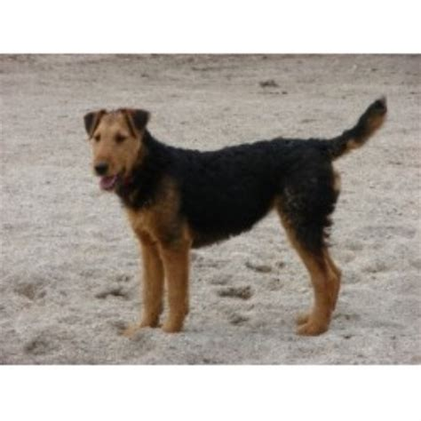 golden retriever breeders columbus ohio airedale terrier breeders columbus ohio dogs in our photo