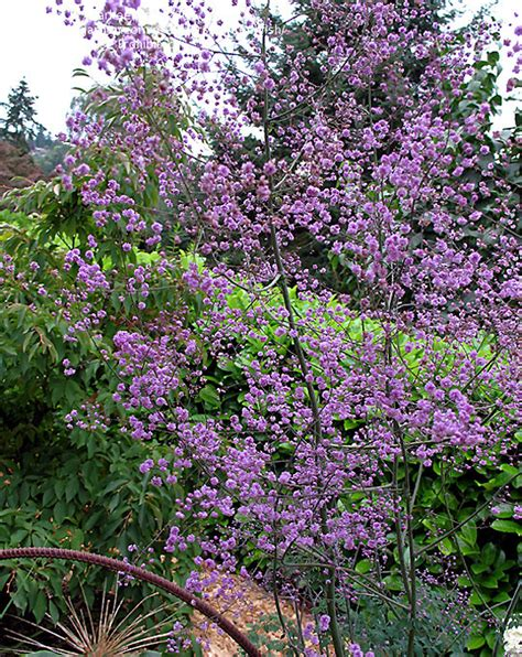 plantfiles pictures yunnan meadow rue chinese meadow rue hewitt s double thalictrum