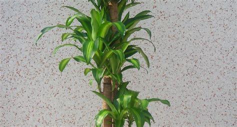 piante cascanti da interno piante da appartamento cascanti idee per il design della