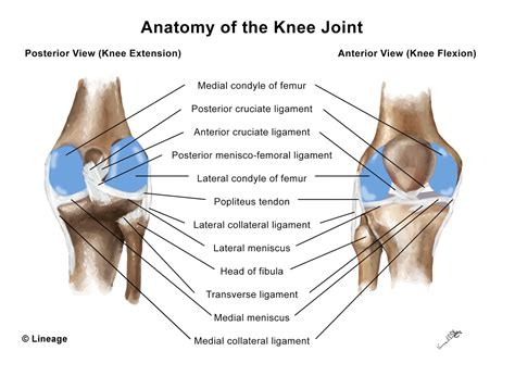 anterior cruciate ligament acl anterior cruciate ligament acl injury msk medbullets