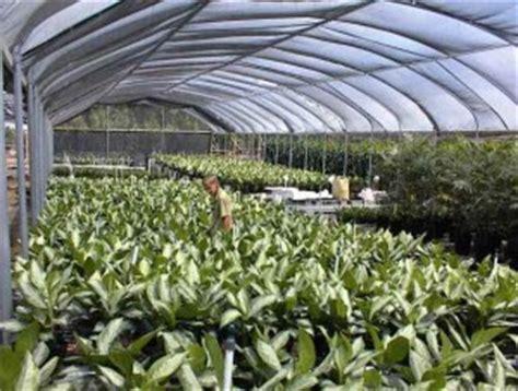 Tanaman Hias Aglonema Big Apel gema wirausaha cara merawat bunga aglaonema