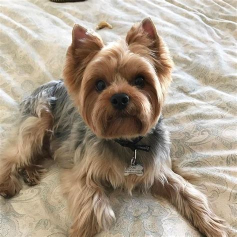 silky terrier with haircut best 25 silky terrier ideas on pinterest noah yorke yorkshire terrier haircut and yorkshire
