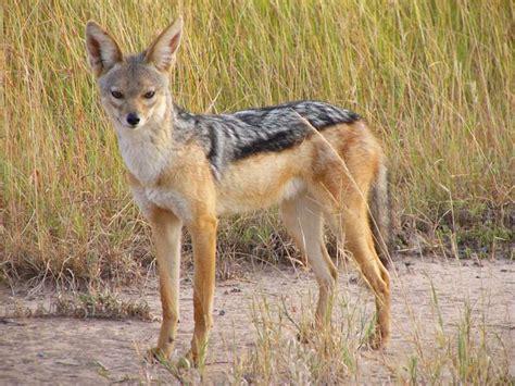 animal wildlife jackal information   images