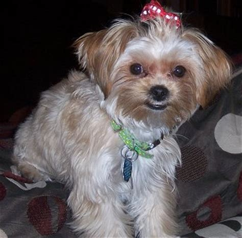 yorkie poo shih tzu mix yorkie shih tzu mix pictures image search results breeds picture