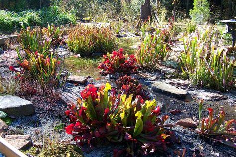 winterharte bepflanzung hardy carnivorous plants