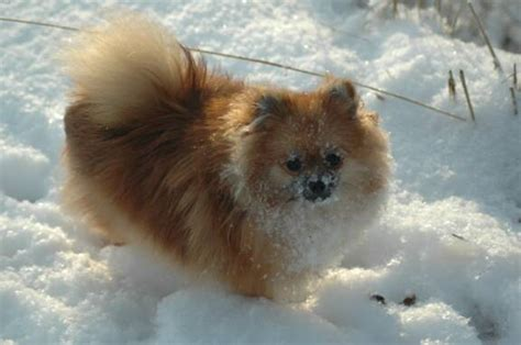 pomeranian chow mix puppies pomeranian chow mix picture breeds picture