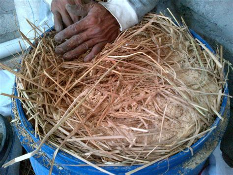 Pakan Fermentasi Untuk Ternak pakan fermentasi jerami padi untuk ternak kambing domba