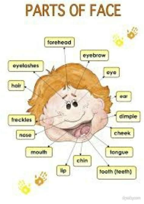 learning english  pictures human body  health