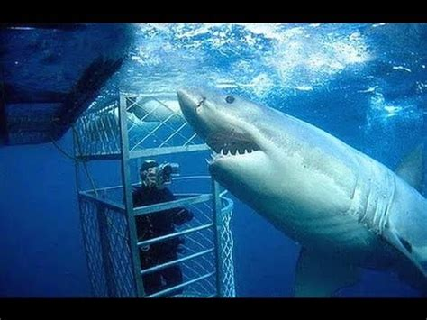 cage dive with sharks cage diving with a great white shark goes wrong
