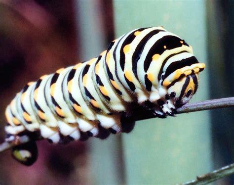 Caterpillar Lb Black Yellow june 2010 animals