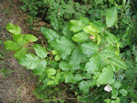 images of poison oak poison oak pics