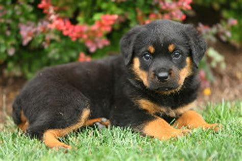mini rottweiler puppies for sale in pa rottweiler puppies for sale in pa lancaster puppies