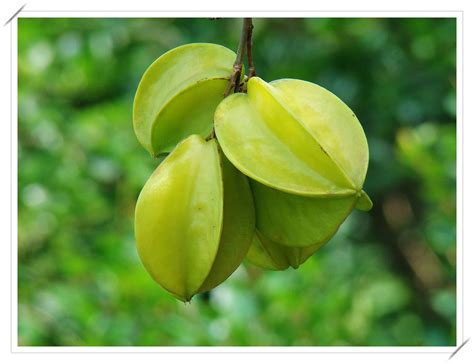 carambola fruit tree carambola averrhoa carambola l