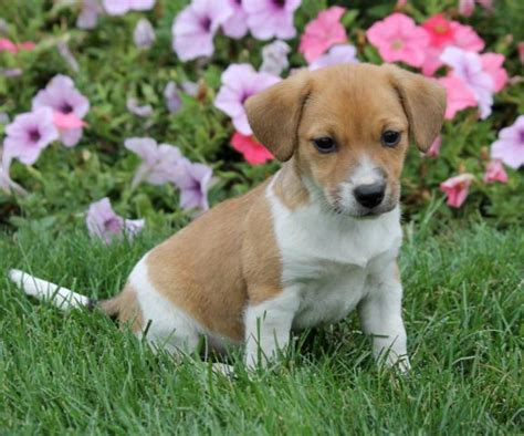 beagle puppies for sale in pa cheap boxer puppies for sale in illinois pkhowto