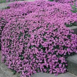 aubrieta purple cascade f1 hybrid aubretia hardy perennial an excellent strain almost smothered