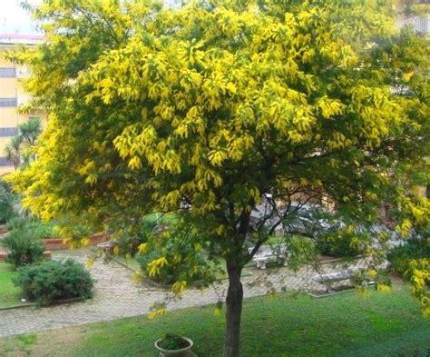 la mimosa fiorita meteo inverno torna la quot psicosi della mimosa fiorita quot ma