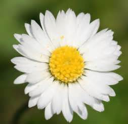 file english daisy bellis perennis jpg