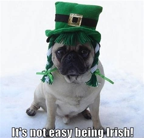 Funny St Patrick Day Meme - funny irish pug st patrick s day memes photo 33902880