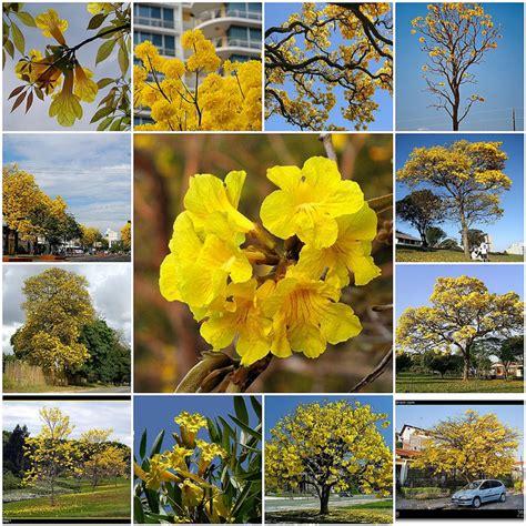Bibit Bunga Tabebuia pohon tabebuya jual bibit pohon tanaman