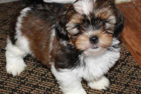 shorkie puppies for sale in ohio shorkie puppies for sale shorkie puppies by the shorkie puppy for sale near