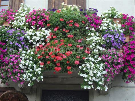 immagini di balconi fioriti bacoli in fiore la proposta sindaco ai residenti