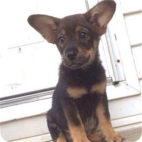 yorkie rescue manchester rebel pending adopted puppy manchester nh yorkie terrier shepherd