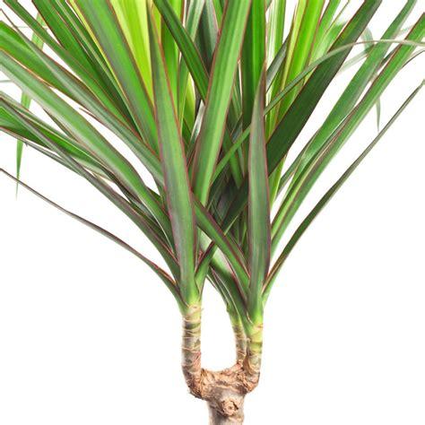 Plante Interieur Facile by Plante Verte Int 233 Rieur Facile Ascolour