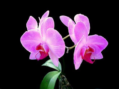 Cattleya Peony pink orchid wallpaper wallpapersafari