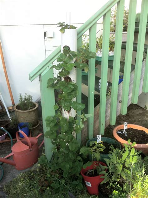 pvc strawberry planter cultivo vertical de la fresa en un tubo de pvc