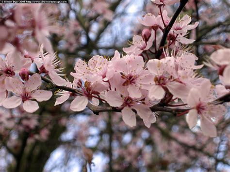Blossom Free hallo cherry blossom pictures free cherry blossom desktop wallpapers