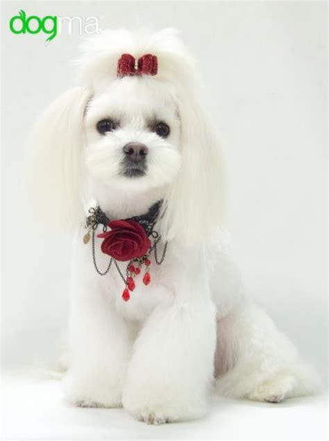 bichon maltes pelo corto dogma peluquer 237 a y est 233 tica canina accesorios para