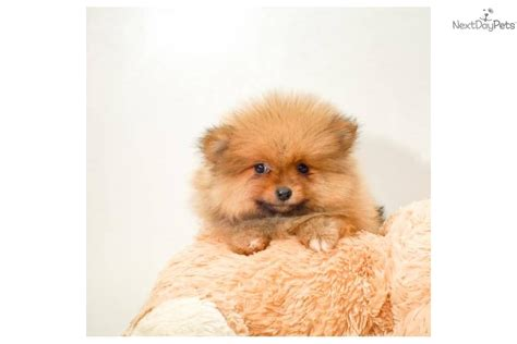 pomeranian puppies for sale in cleveland ohio teddy dogs for sale cleveland ohio breeds picture