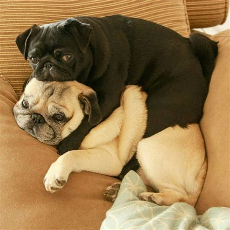 pugs on pugs on pugs 25 best ideas about pugs on pugs pug puppies and pug puppies