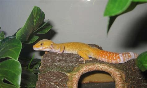 buy house gecko onlinegeckos com gecko breeder leopard geckos for sale