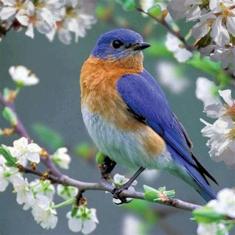 St 2in1 Pretty Blue the bluebird of happiness blue birds
