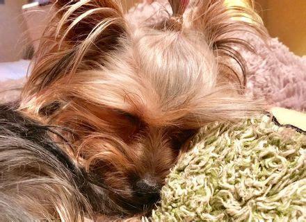 yorkie beds yorkie dog beds korrectkritterscom