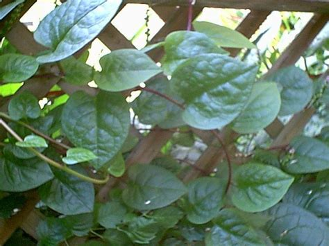 plantfiles pictures malabar spinach red vine spinach creeping spinach climbing spinach