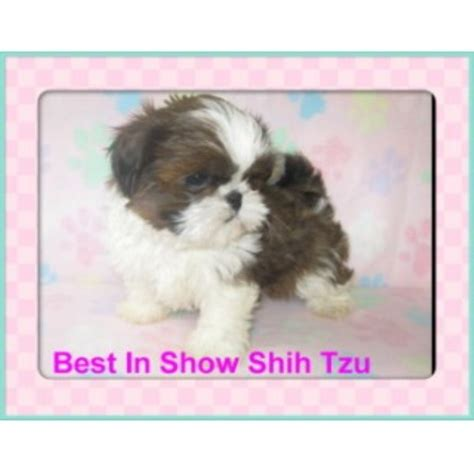 best in show shih tzu best in show shihtzu shih tzu breeder in thomaston listing id 20715
