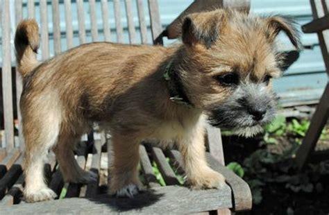 cairn terrier shih tzu mix puppies cairn terrier shih tzu mix puppies