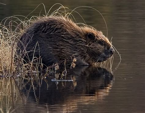 Beaver Pc Thats Actual Beaver Not The Brand Beaver by Bevere