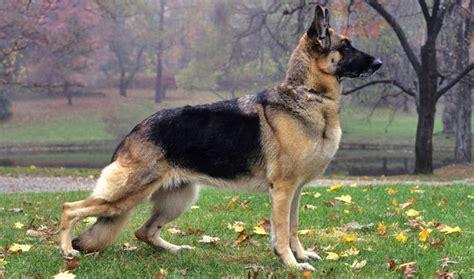 where to buy german shepherd puppies german shepherd breed information