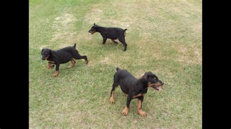doberman pinscher puppies dogs  sale  mesa